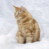 Chaton de Maine Coon Photo stock