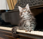 Chaton de ragondin du Maine sur un piano Photos libres de droits