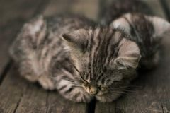Chaton de sommeil photos stock
