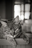 Chaton de Tabby Images stock