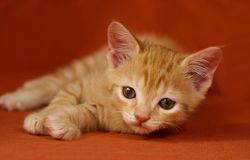 Chaton de Tabby Photographie stock