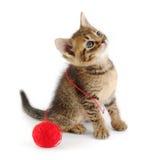 Chaton de Tabby empêtré avec l'amorçage rouge Photographie stock libre de droits