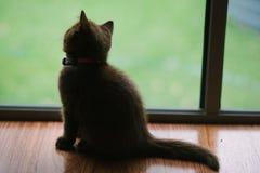 Chaton des Anglais Shorthair à la fenêtre Image libre de droits