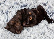Chaton deux brun se trouvant sur une couverture Photo libre de droits