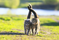 Chaton deux rayé mignon marchant ensemble dans une étreinte sur un gree Image stock