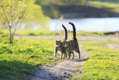 Chaton deux rayé mignon marchant ensemble dans une étreinte sur un gree Photographie stock