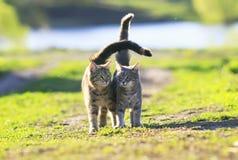 Chaton deux rayé mignon marchant sur l'herbe verte Photo libre de droits