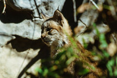 Chaton distrait de Lynx Photographie stock