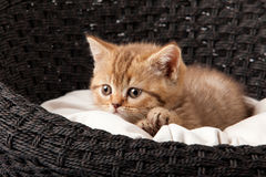 Chaton dormant dans le panier Photo stock