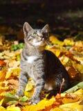 Chaton et automne Photo libre de droits