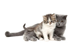 Chaton et chat d'isolement sur un fond blanc Photo libre de droits