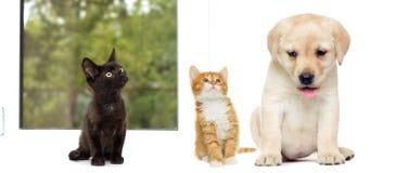 Chaton et chiot Labrador Photo stock