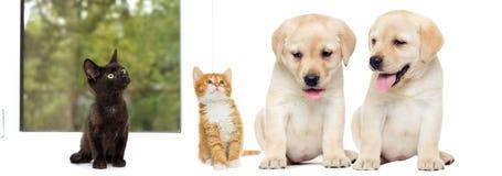 Chaton et chiot Labrador Images stock