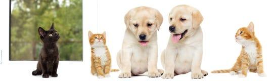 Chaton et chiot Labrador Photographie stock