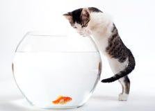 Chaton et goldfish image libre de droits
