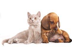 Chaton et puppydachshund Photo libre de droits