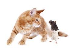 Chaton et rat de ragondin de Maine Images libres de droits