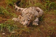 Chaton fatigué de léopard de neige Photos stock