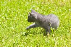 Chaton gris photos libres de droits