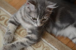 Chaton gris photographie stock