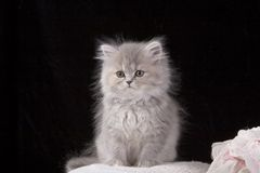 Chaton gris Photo libre de droits