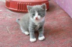 Chaton gris photos stock