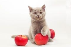 Chaton gris avec les pommes rouges image libre de droits