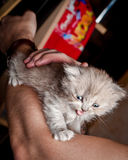 Chaton gris britannique dans des mains humaines Image libre de droits