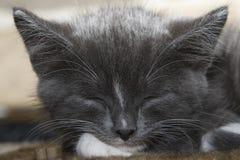 Chaton gris de sommeil Photographie stock