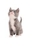 Chaton gris et blanc adorable recherchant Image stock