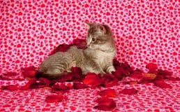 Chaton gris et pétales roses Image libre de droits