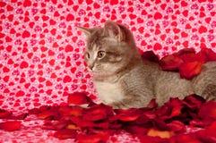 Chaton gris et pétales roses Photographie stock libre de droits