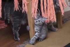 Chaton gris jouant avec la maman photographie stock libre de droits