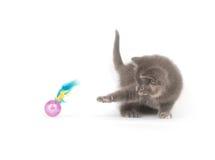 Chaton gris jouant avec le jouet photographie stock