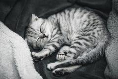 Chaton gris mignon de sommeil sur le lit Chat écossais aux oreilles tombantes Image libre de droits