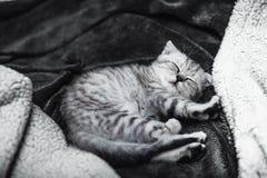 Chaton gris mignon de sommeil sur le lit Chat écossais aux oreilles tombantes Photo libre de droits