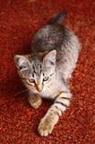 Chaton gris rayé sur le fond rouge de chiffon Photo stock