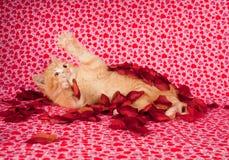 Chaton jaune et pétales roses Photo libre de droits