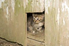 Chaton jetant un coup d'oeil hors d'un trou dans une trappe en bois Images libres de droits