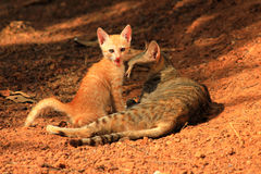 Chaton jouant avec la maman de chat Photographie stock