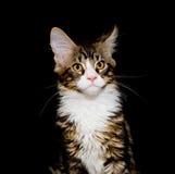 chaton Maine de ragondin Photographie stock libre de droits