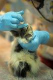 Chaton malade lors d'inspection par un vétérinaire Photos libres de droits
