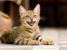 Chaton mignon d'animal familier Photos libres de droits