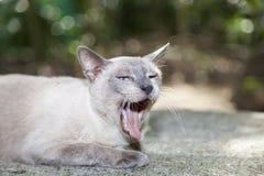 chaton mignon d'animal familier baîllant sur le fond vert Image stock