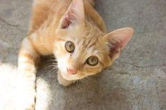 Chaton mignon de chat de shorthair de thailang Images libres de droits