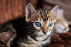 Chaton mignon de chat du Bengale à la maison photographie stock