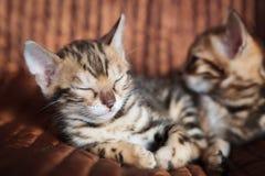 Chaton mignon de chat du Bengale à la maison image stock
