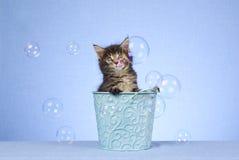 Chaton mignon de ragondin du Maine avec des bulles Photographie stock