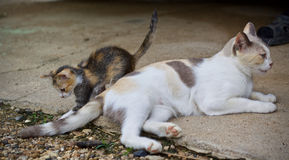 Chaton mignon et jouer de chat de mère Photos libres de droits