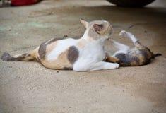 Chaton mignon et jouer de chat de mère Photo stock